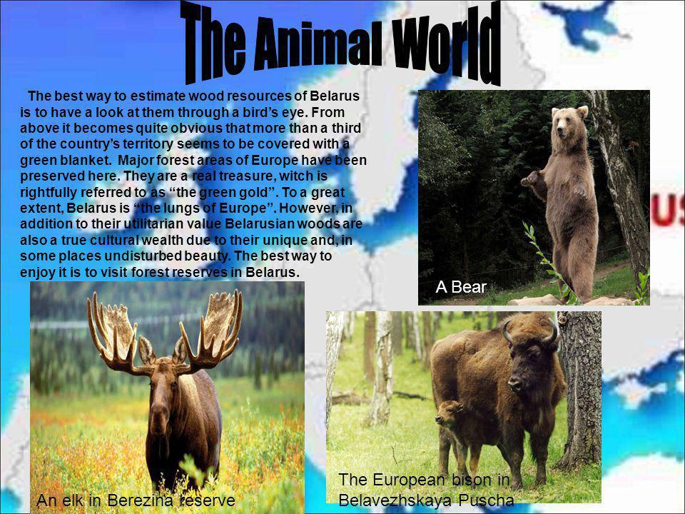 The Animal World A Bear The European bison in Belavezhskaya Puscha