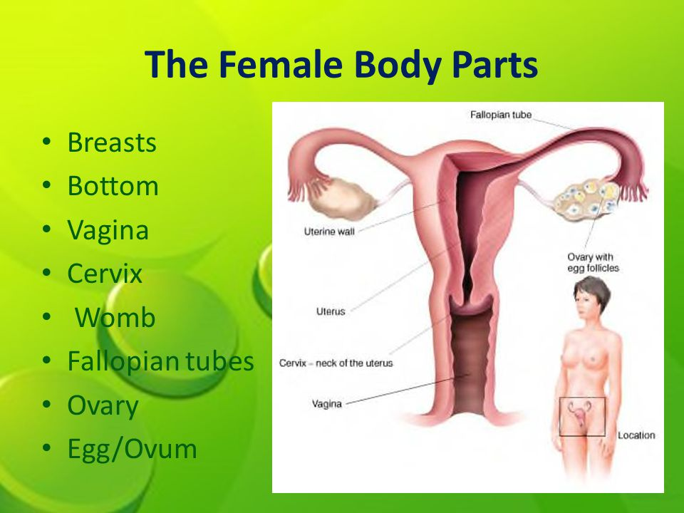 The Female Body Parts Breasts Bottom Vagina Cervix Womb