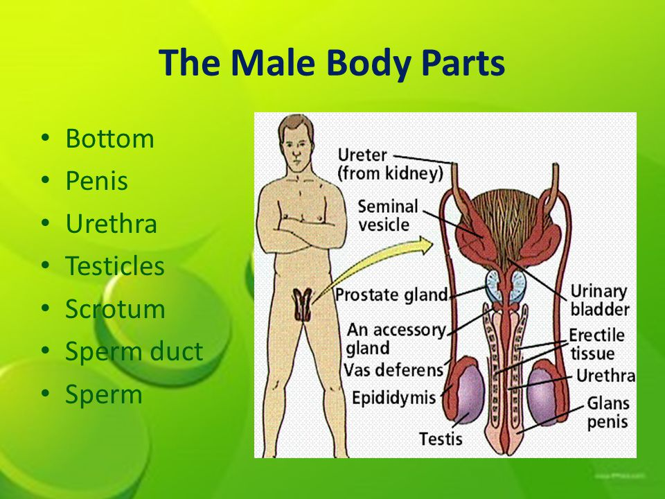 The Male Body Parts Bottom Penis Urethra Testicles Scrotum Sperm duct