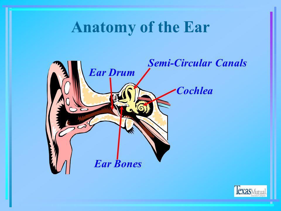 Anatomy of the Ear Cochlea Ear Drum Ear Bones Semi-Circular Canals