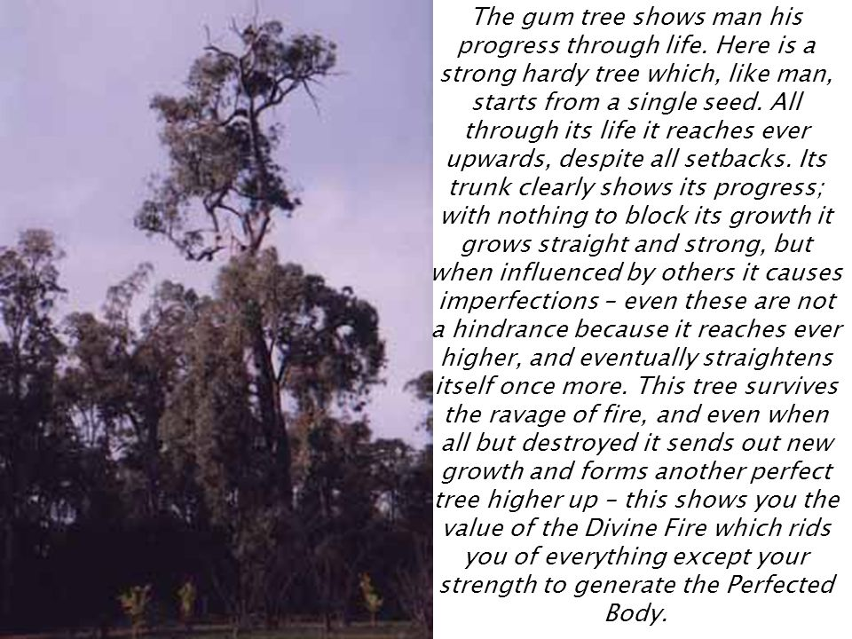 The gum tree shows man his progress through life
