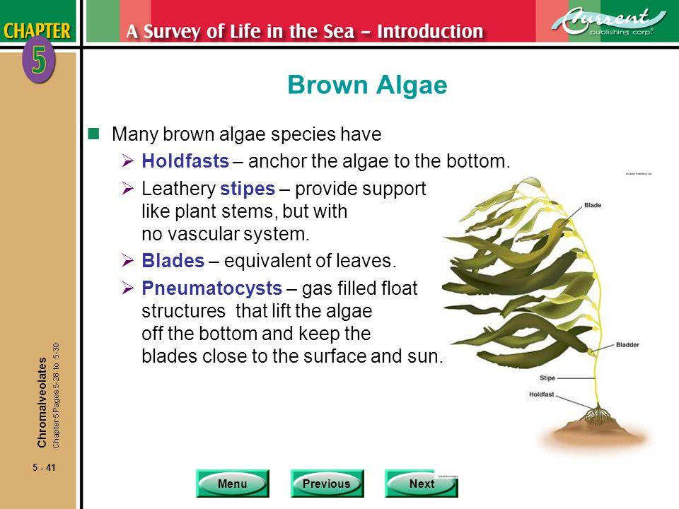 Brown Algae Many brown algae species have