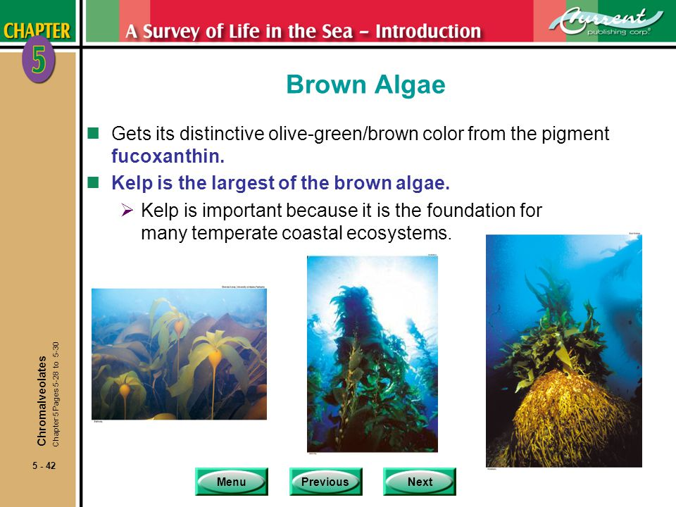 Brown Algae Gets its distinctive olive-green/brown color from the pigment fucoxanthin. Kelp is the largest of the brown algae.