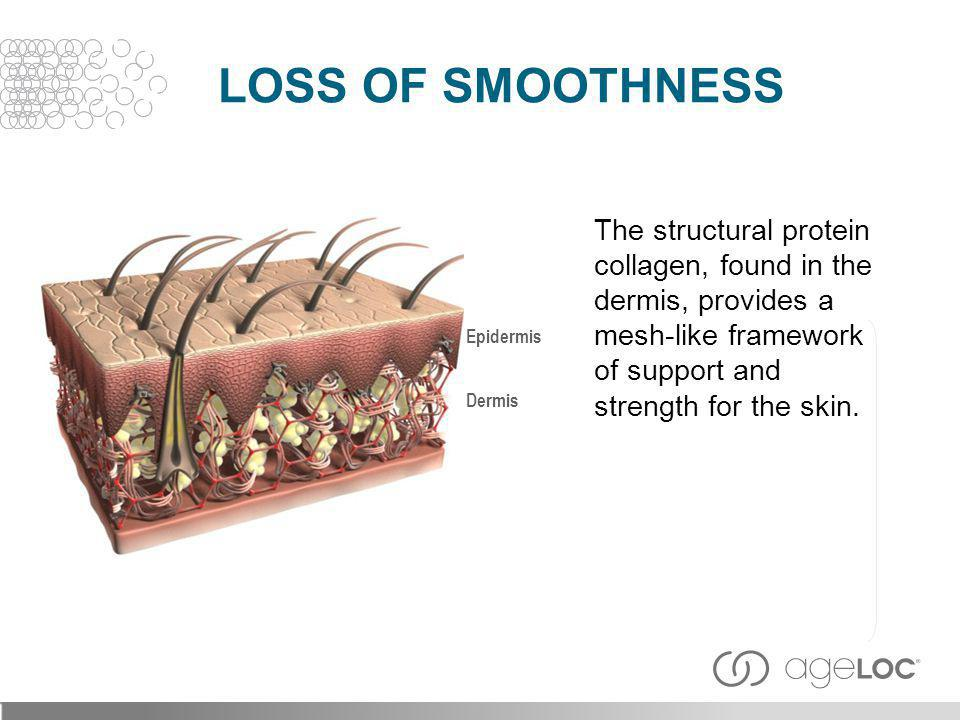Loss of Smoothness The structural protein collagen, found in the dermis, provides a mesh-like framework of support and strength for the skin.