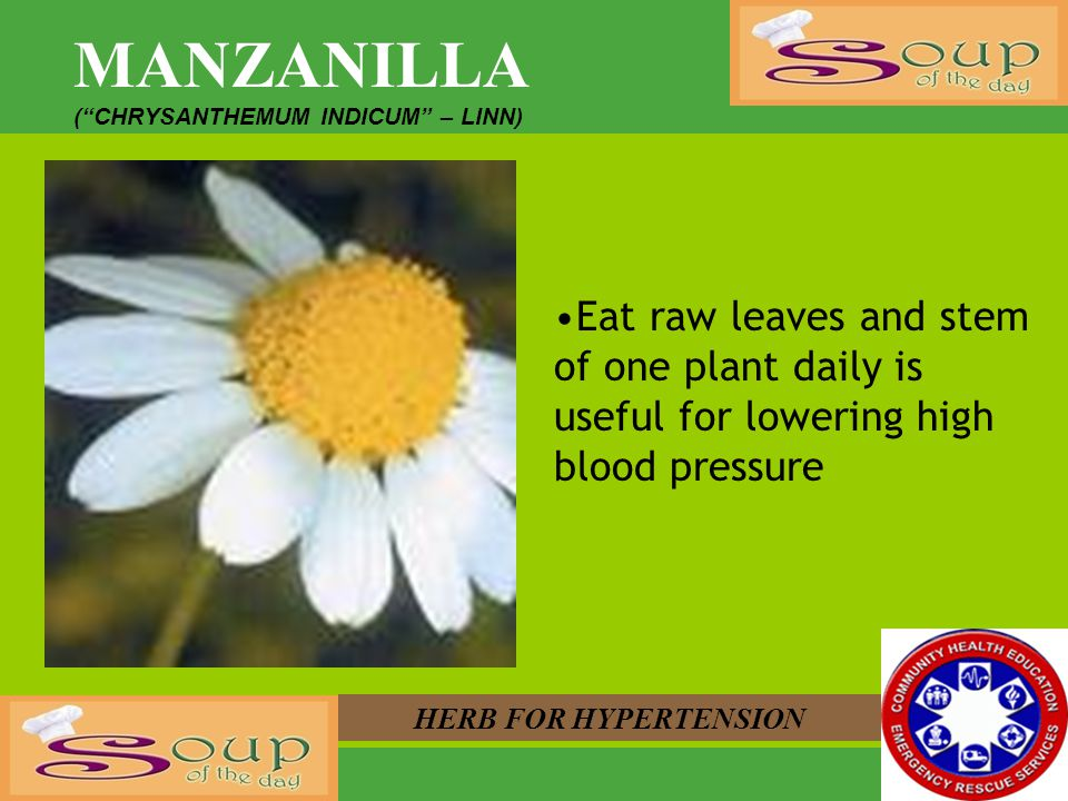 MANZANILLA ( CHRYSANTHEMUM INDICUM – LINN) Eat raw leaves and stem of one plant daily is useful for lowering high blood pressure.