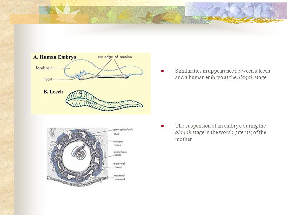 Similarities in appearance between a leech and a human embryo at the alaqah stage