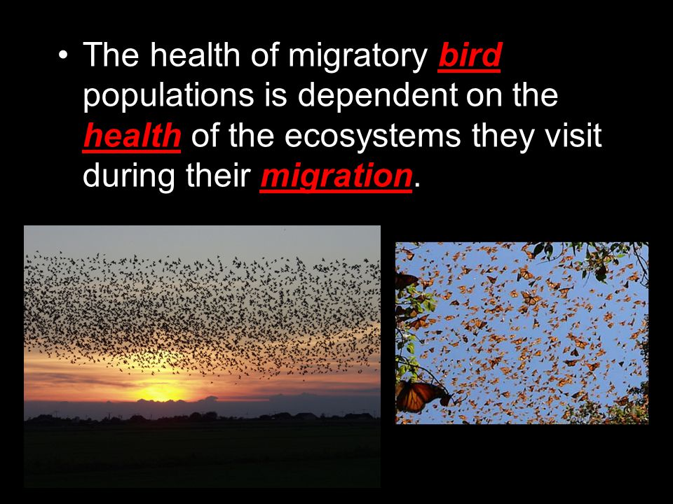 The health of migratory bird populations is dependent on the health of the ecosystems they visit during their migration.
