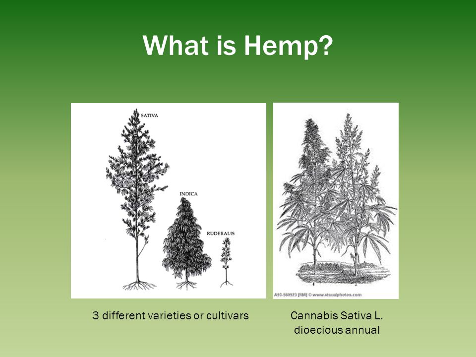 What is Hemp 3 different varieties or cultivars Cannabis Sativa L.