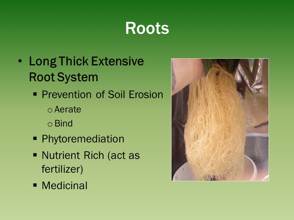 Roots Long Thick Extensive Root System Prevention of Soil Erosion