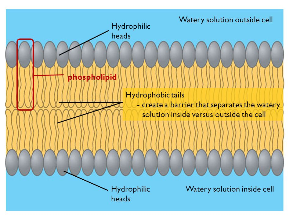 Watery solution outside cell