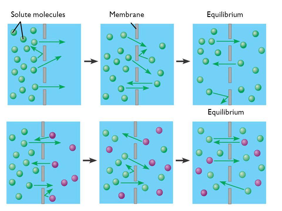 Equilibrium Membrane Solute molecules