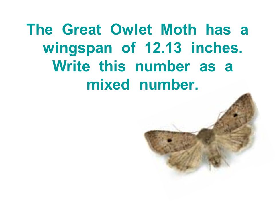 The Great Owlet Moth has a wingspan of 12. 13 inches