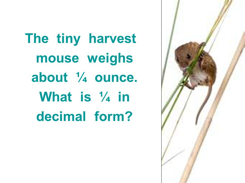 The tiny harvest mouse weighs about ¼ ounce. What is ¼ in decimal form