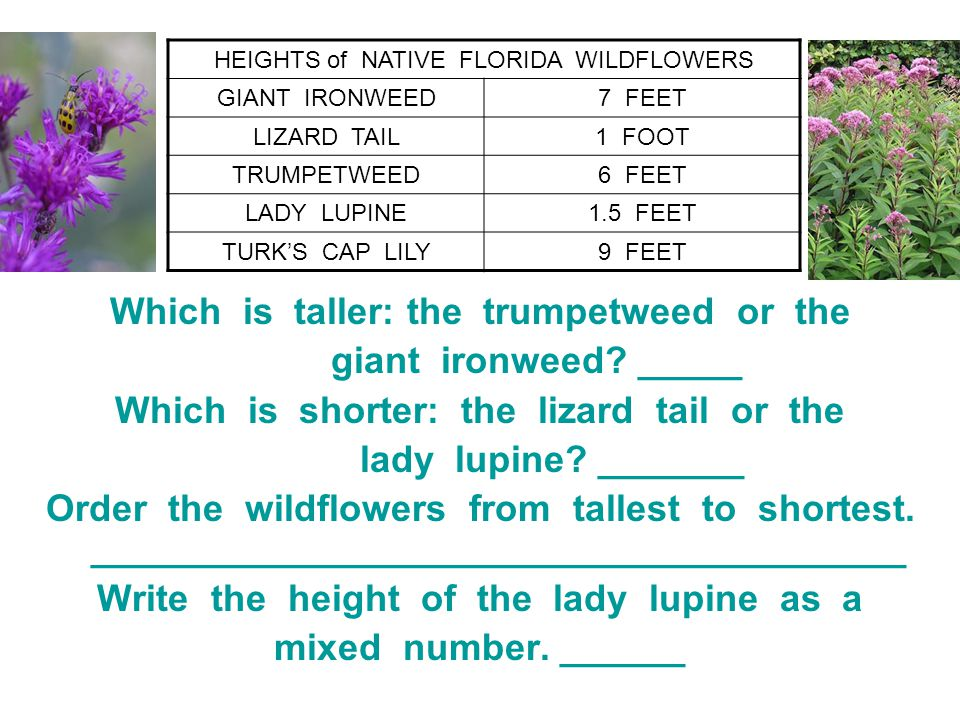 Which is taller: the trumpetweed or the giant ironweed _____
