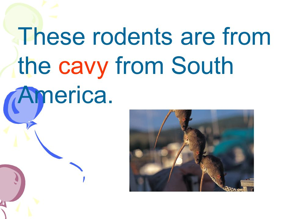 These rodents are from the cavy from South America.