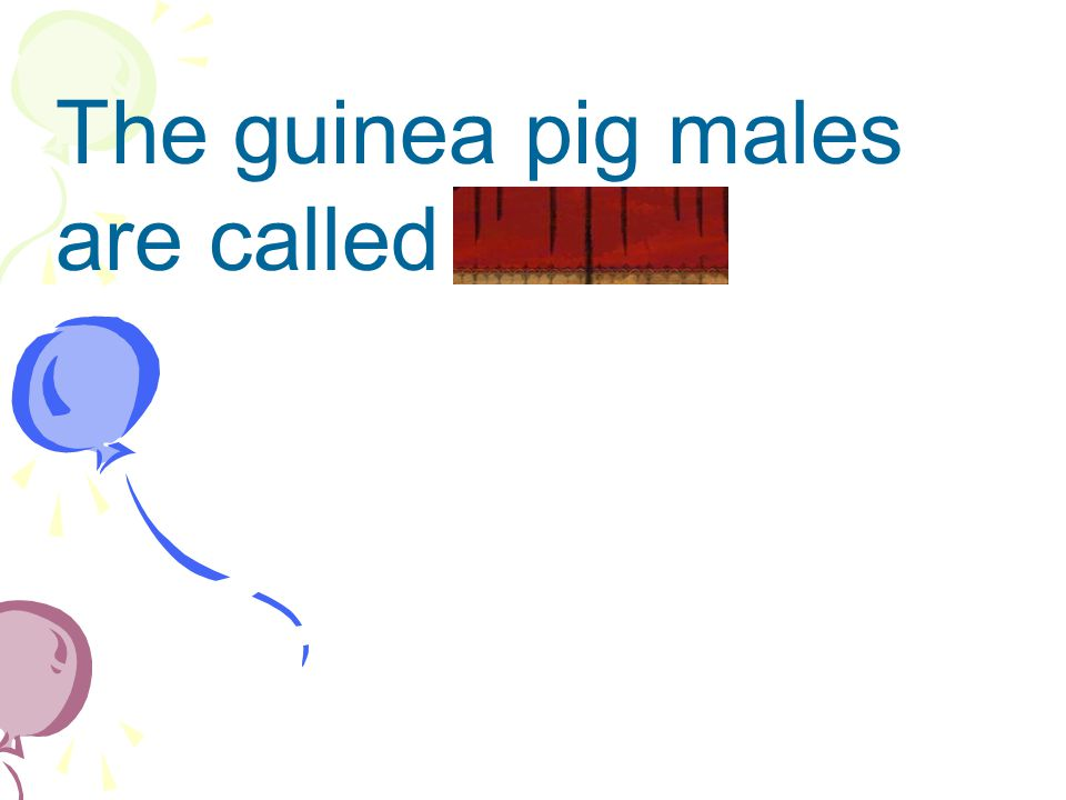 The guinea pig males are called bears.