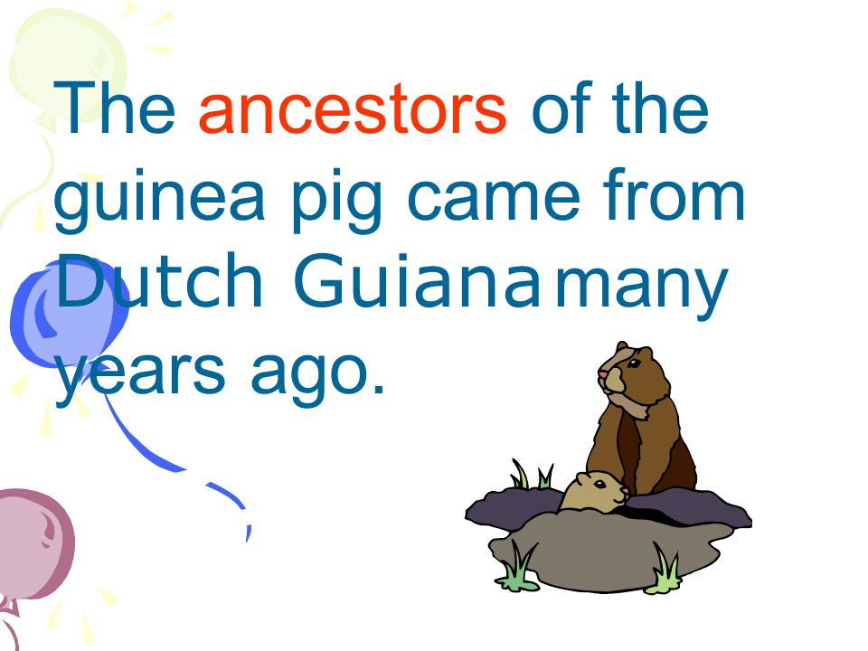 The ancestors of the guinea pig came from Dutch Guiana many years ago.