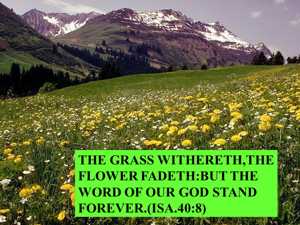 THE GRASS WITHERETH,THE FLOWER FADETH:BUT THE WORD OF OUR GOD STAND FOREVER.(ISA.40:8)