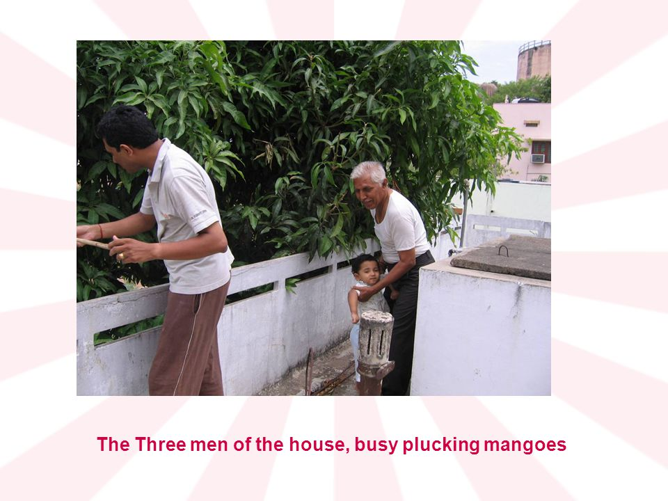The Three men of the house, busy plucking mangoes