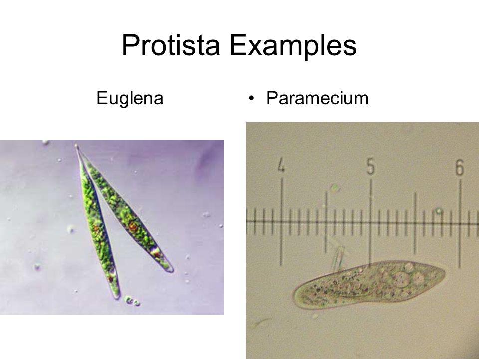 Protista Examples Euglena Paramecium