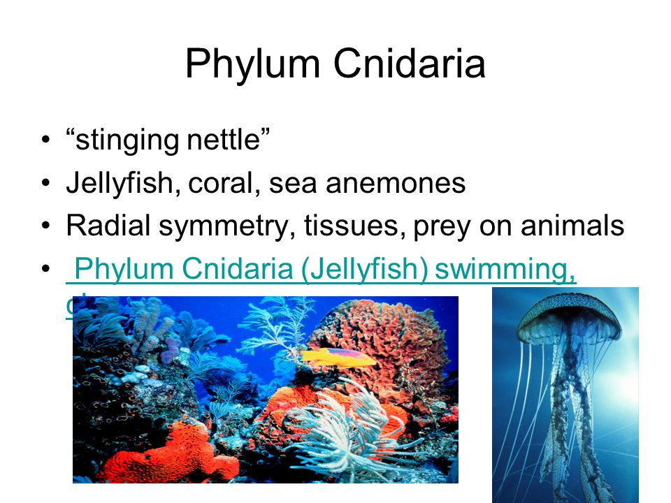 Phylum Cnidaria stinging nettle Jellyfish, coral, sea anemones