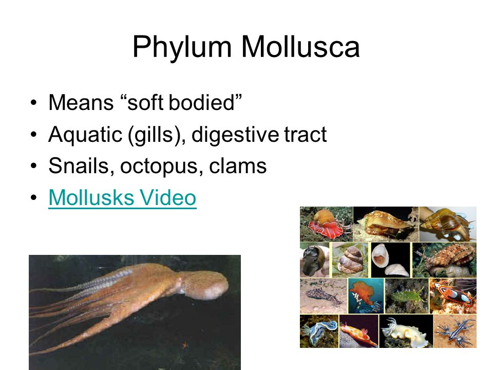 Phylum Mollusca Means soft bodied Aquatic (gills), digestive tract