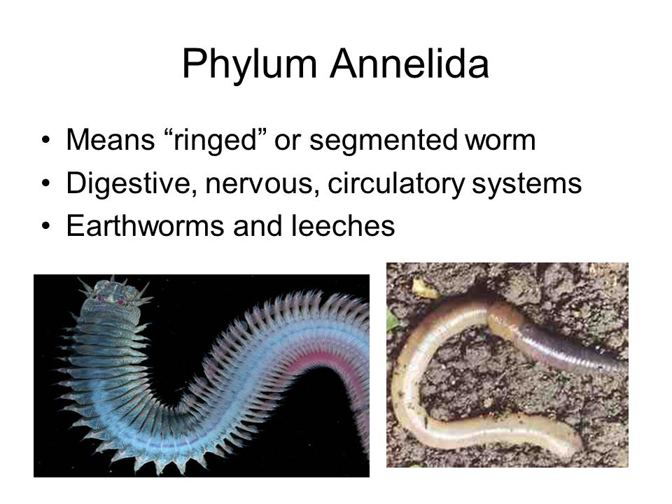 Phylum Annelida Means ringed or segmented worm
