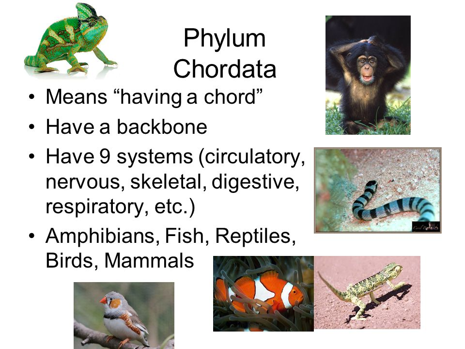Phylum Chordata Means having a chord Have a backbone