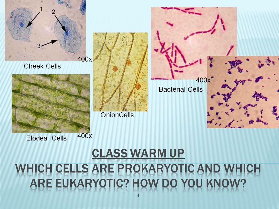 400x Cheek Cells. 400x. Bacterial Cells. OnionCells. 400x. Elodea Cells.