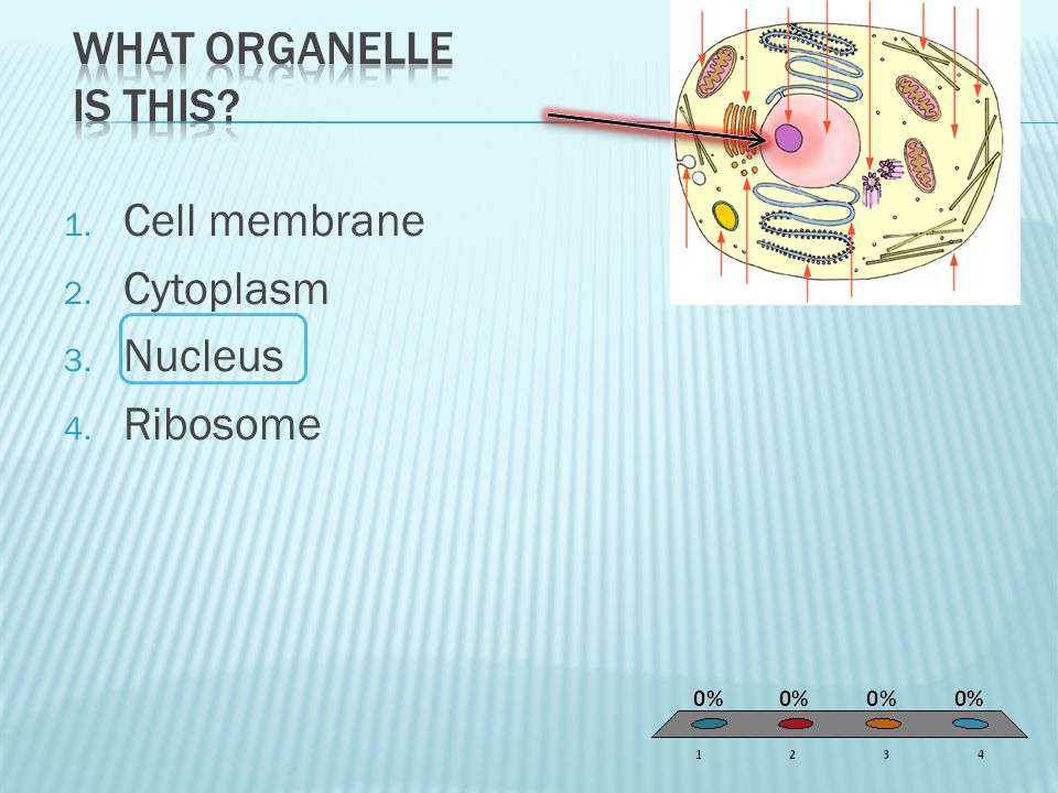 What organelle is this Cell membrane Cytoplasm Nucleus Ribosome