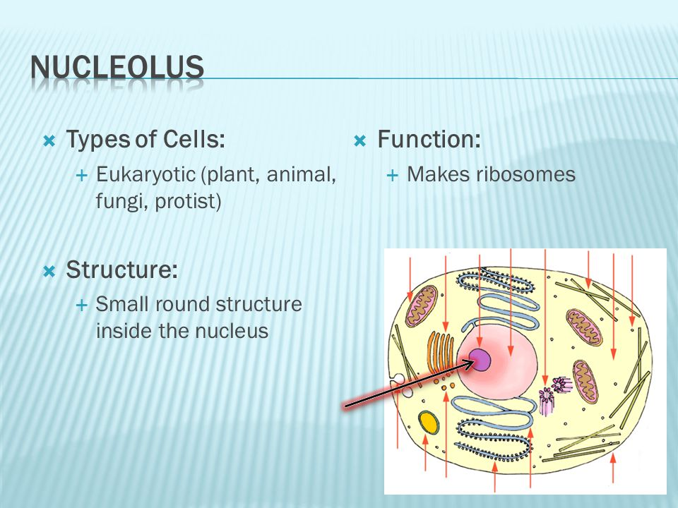 NUCLEOLUS Types of Cells: Structure: Function:
