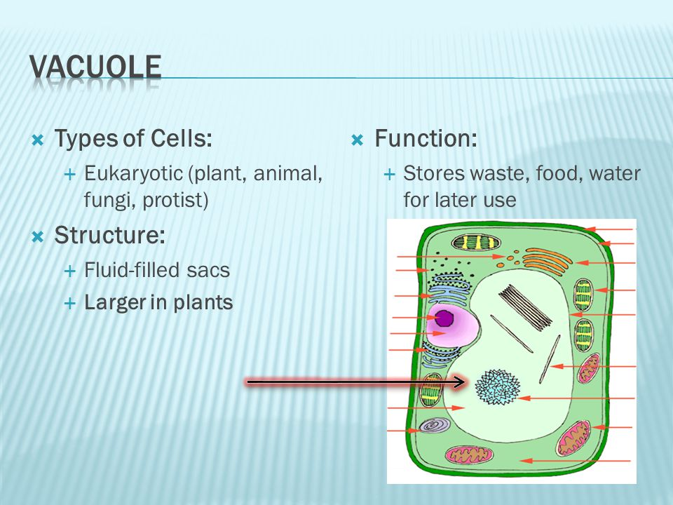 Vacuole Types of Cells: Structure: Function: