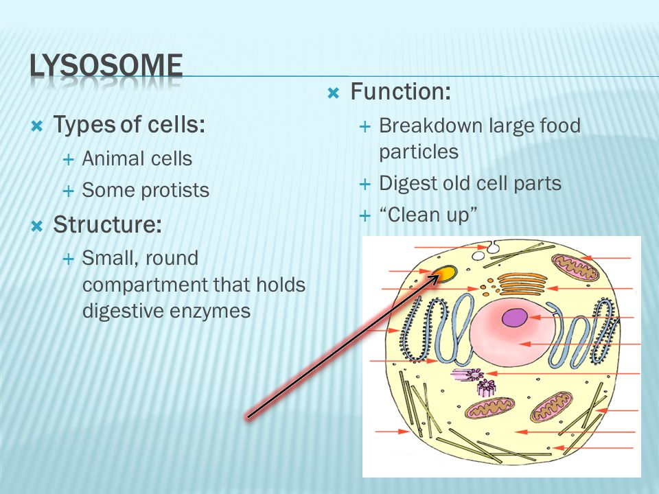 Lysosome Function: Types of cells: Structure: