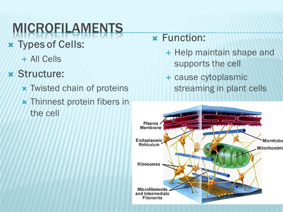 Microfilaments Function: Types of Cells: Structure: