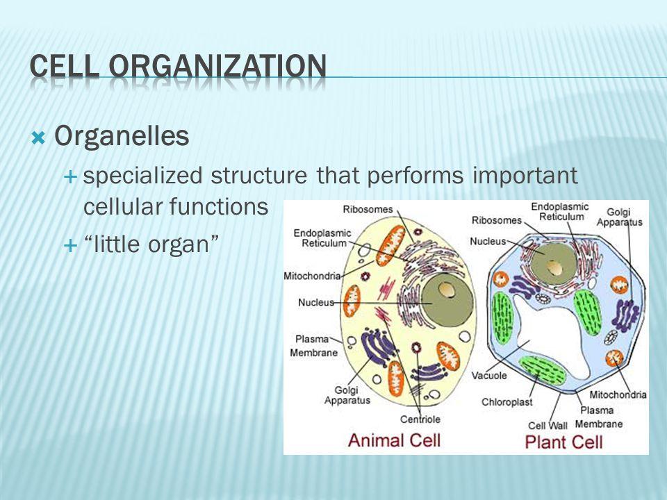Cell Organization Organelles