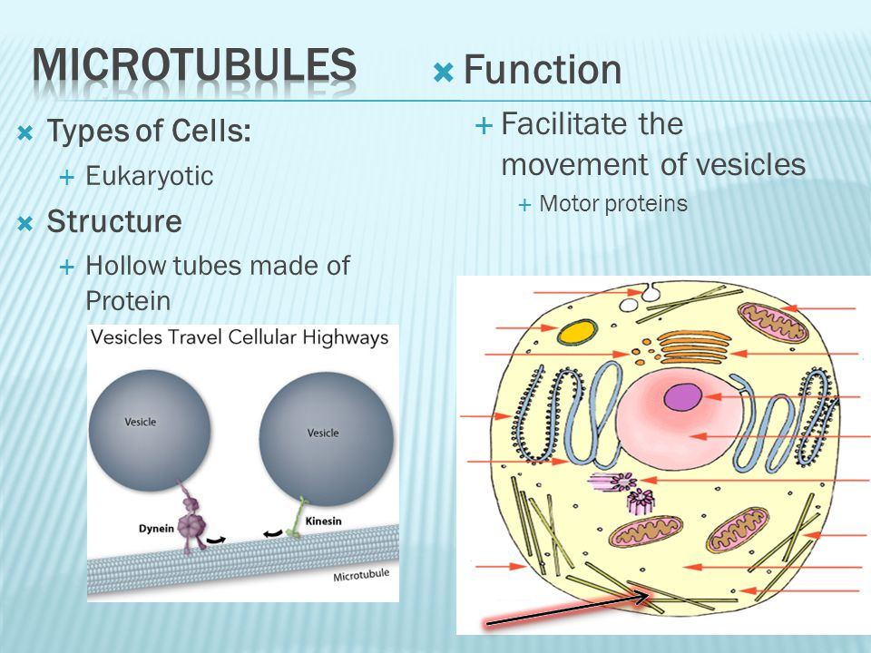 Microtubules Function Facilitate the movement of vesicles