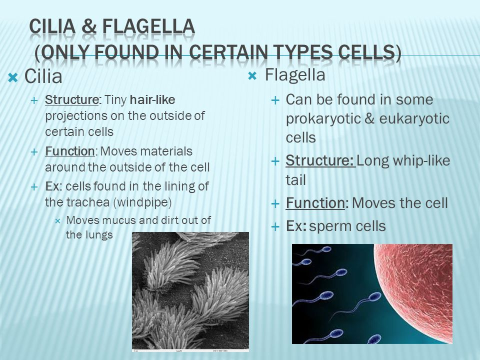 Cilia & Flagella (ONLY FOUND IN CERTAIN Types CELLS)