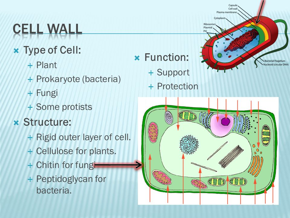 Cell wall Type of Cell: Function: Structure: Plant