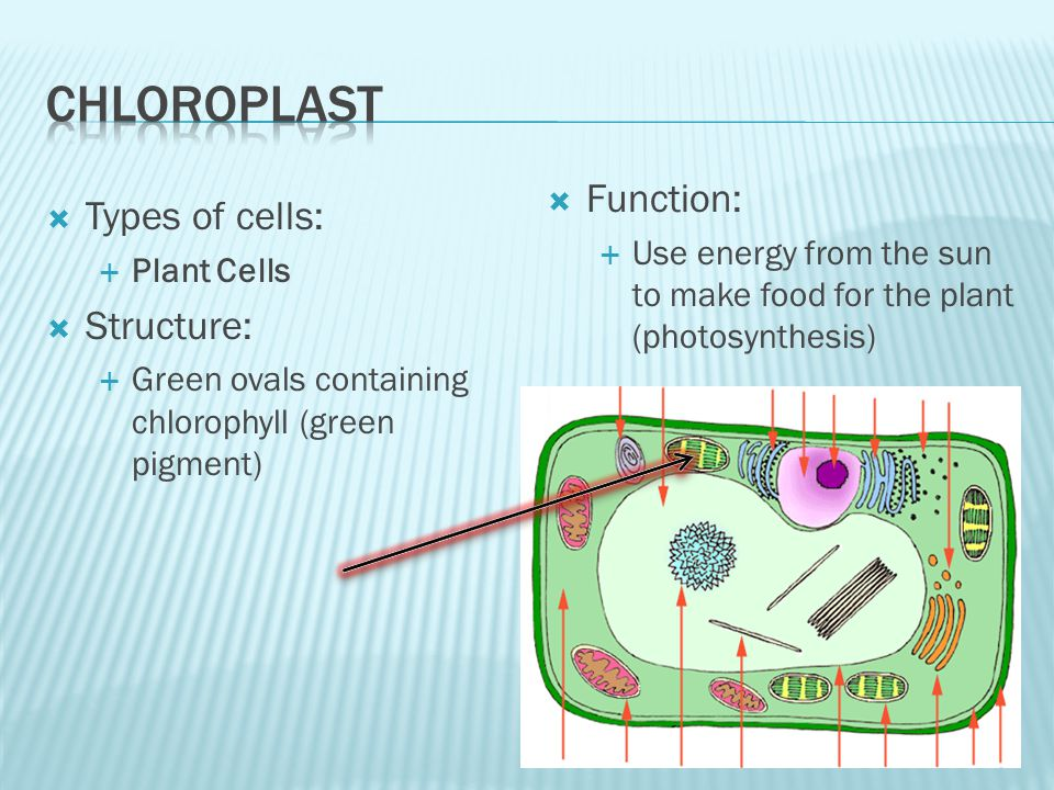 Chloroplast Function: Types of cells: Structure: