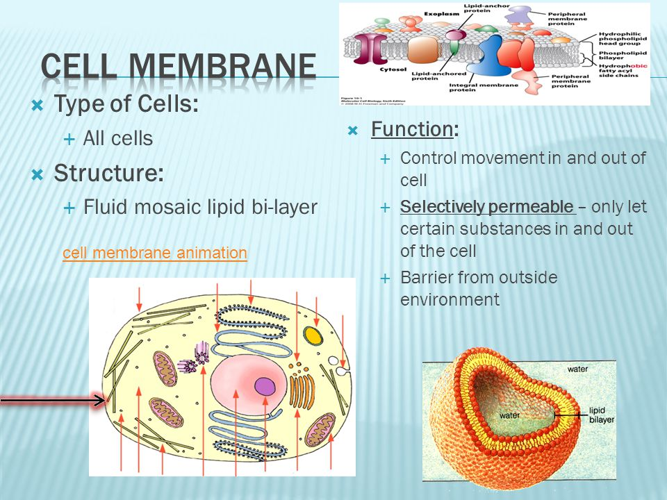 Cell membrane Type of Cells: Structure: All cells Function: