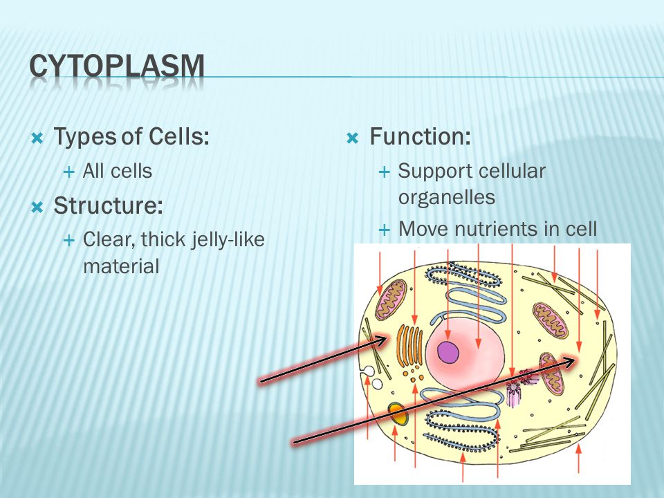 cytoplasm Types of Cells: Structure: Function: All cells