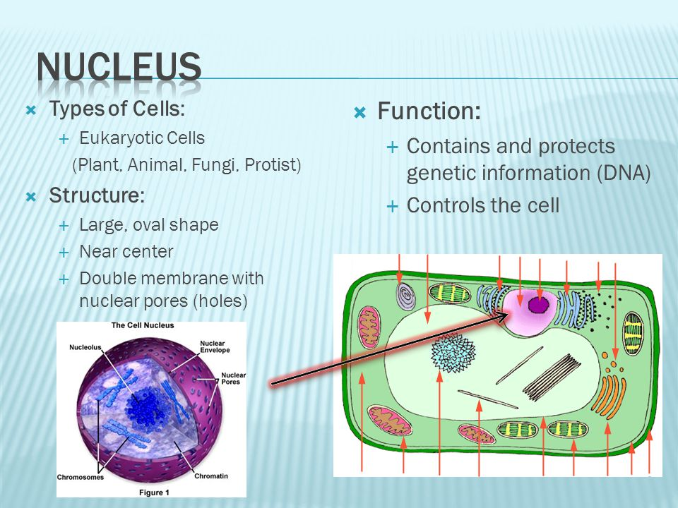 Nucleus Function: Types of Cells: