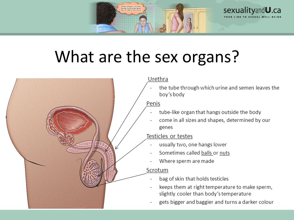 What are the sex organs Urethra Penis Testicles or testes Scrotum