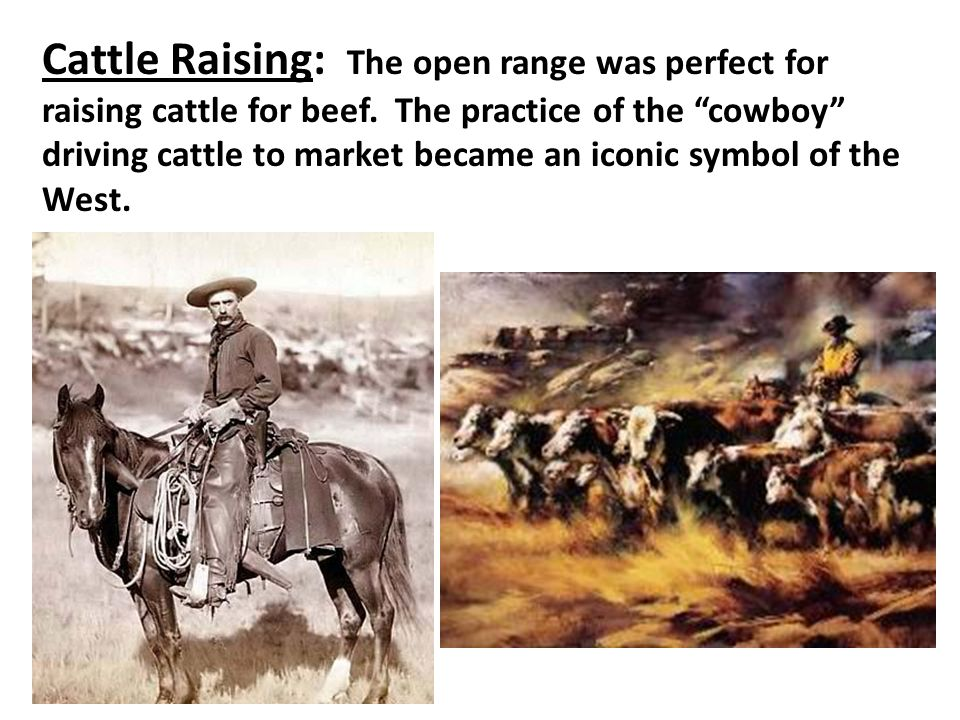 Cattle Raising: The open range was perfect for raising cattle for beef