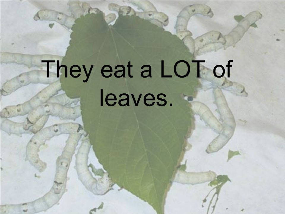 They eat a LOT of leaves.