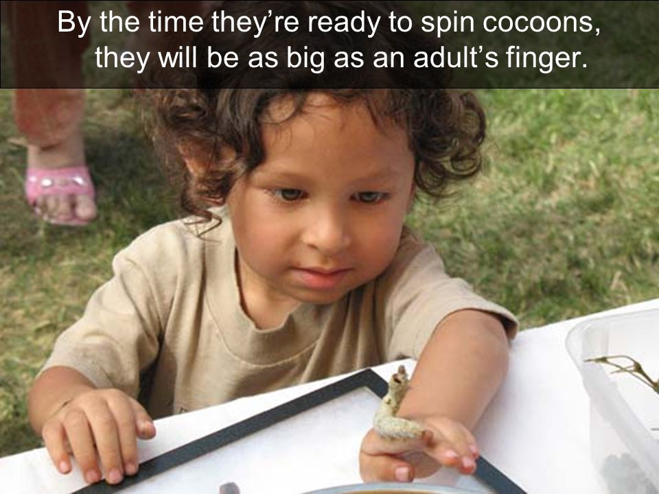 By the time they're ready to spin cocoons, they will be as big as an adult's finger.