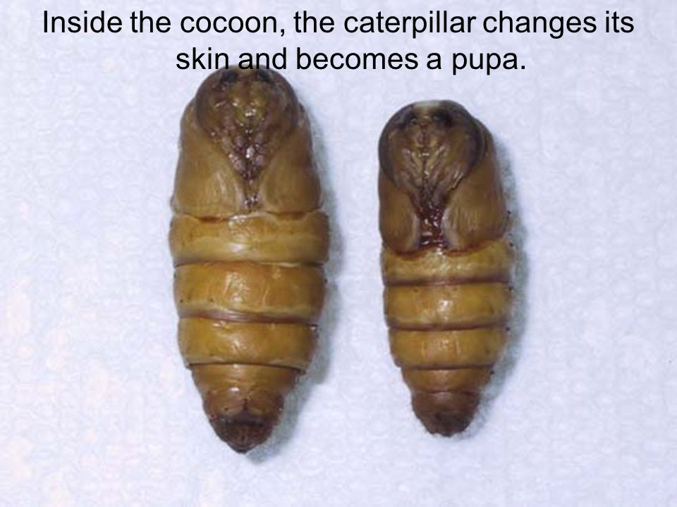 Inside the cocoon, the caterpillar changes its skin and becomes a pupa.