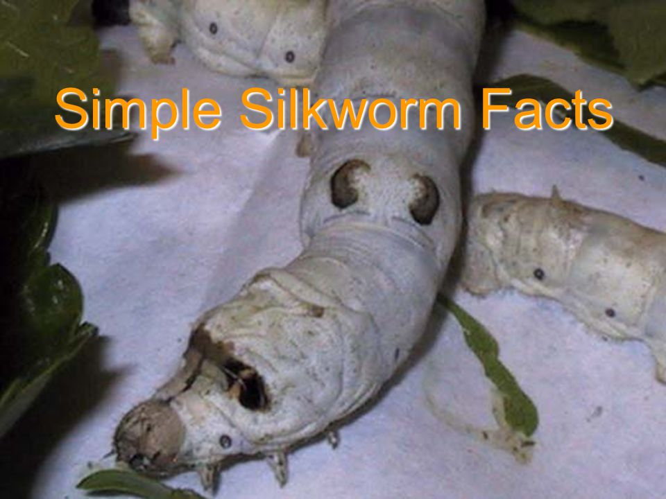 Simple Silkworm Facts