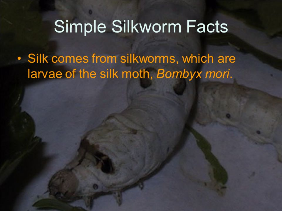 Simple Silkworm Facts Silk comes from silkworms, which are larvae of the silk moth, Bombyx mori.