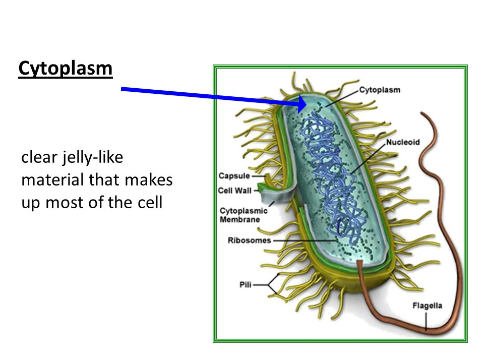 Cytoplasm clear jelly-like material that makes up most of the cell
